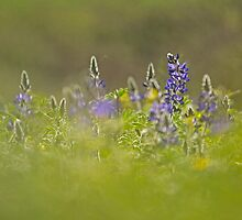 Selective focus on a cluster of Blue lupin (Lupinus pilosus) by PhotoStock-Isra