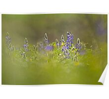 Selective focus on a cluster of Blue lupin (Lupinus pilosus) Poster