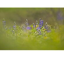 Selective focus on a cluster of Blue lupin (Lupinus pilosus) Photographic Print
