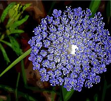 Blue Laceflower (Trachymene coerulea) by Colin White