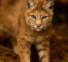 Bob Cat by Karl Thompson