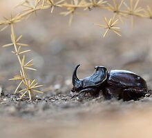 Horned or Spanish Dung beetle (Copris hispanus). by PhotoStock-Isra