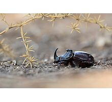 Horned or Spanish Dung beetle (Copris hispanus). Photographic Print
