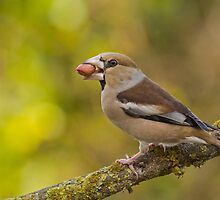 Hawfinch (Coccothraustes coccothraustes)  by PhotoStock-Isra