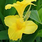 Closeup Of A Tropical Yellow Canna Lily by taiche