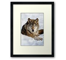 Wolf (canis lupus) portrait Framed Print
