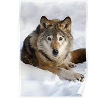 Wolf (canis lupus) portrait Poster