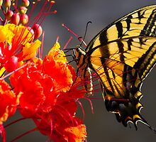 Tiger Swallowtail on Red Bird of Paradise by Ray Chiarello