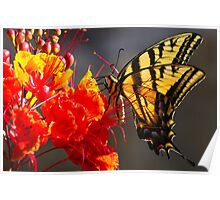 Tiger Swallowtail on Red Bird of Paradise Poster