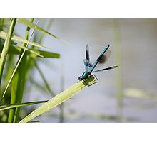 Banded Demoiselle Photographic Print