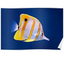 Exotic tropical coral reef copperband butterfly fish Poster