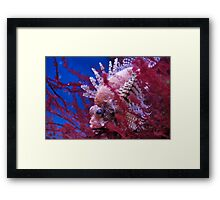 Lionfish in a red seaweed Framed Print