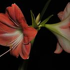 Amaryllis Duo by dumbomsa