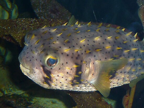 Puffer Fish! by Sharon Brown