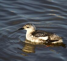 Black Guillemot in winter plumage by Jon Lees
