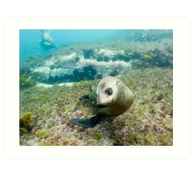 Seal, Montague Island, Australia Art Print