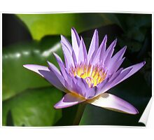 Water lily, Gold Coast, Queensland Poster