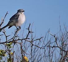Mockingbird by Diego  Re