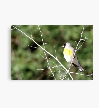 Lawrence's Goldfinch ~ Male Canvas Print