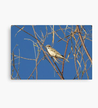 Lark Sparrow ~ Adult Canvas Print