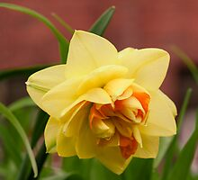 Double Daffodil by Dency Kane