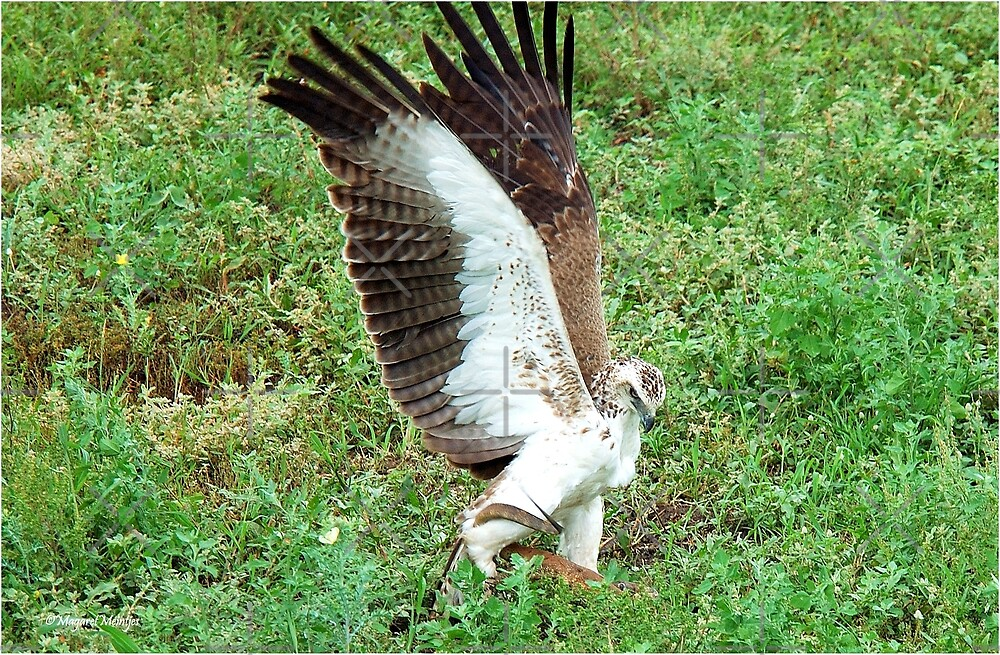MARTIAL EAGLE - Polemaeus bellicosus – BREEKOPAREND by Magriet Meintjes