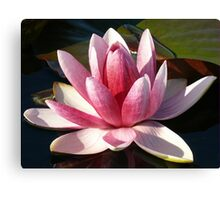 Pink and white water lily, Gold Coast, Queensland Canvas Print