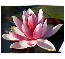 Pink and white water lily, Gold Coast, Queensland Poster