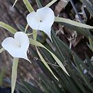 White Orchid Pair by Ginny Schmidt