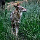 Red Wolf II by Karen Peron