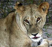 Lioness in botswana by jozi1