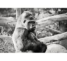 Female Silverback Gorilla Black and White Photographic Print