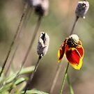 Oklahoma WIldflower by Carrie Bonham