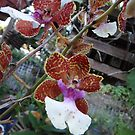 Orchids by Ginny Schmidt