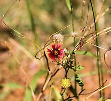 Oklahoman Wildflower by Carrie Bonham
