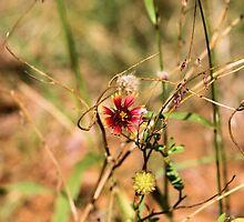 Oklahoman Wildflower by Carrie Bonham