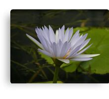 Nimphea misty blue lily, Gold Coast, Queensland Canvas Print