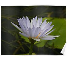 Nimphea misty blue lily, Gold Coast, Queensland Poster