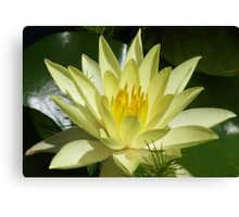 Yellow water lily, Gold Coast, Queensland Canvas Print