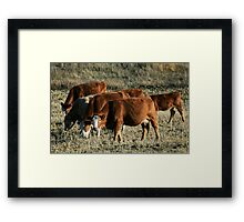 cattle heading home in the evening Framed Print