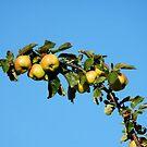 Apples - autumnal yellow by Babz Runcie