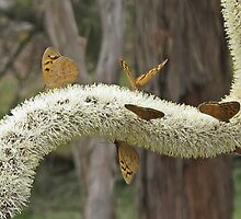 Common brown Butterflies feasting by macinverts