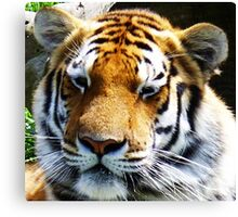 Beautiful Bengal tiger relaxing in the sun Canvas Print
