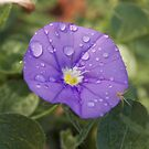 Purple Flower & Water-drops by Alex Colcheedas