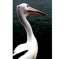 Pelican, Port MacQuarie Photographic Print