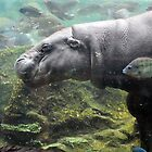Pygmy Hippopotamus - Singapore. by Ralph de Zilva