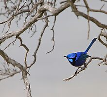Splendid - the brilliant blue Splendid Fairy-wren by Haggiswonderdog