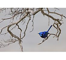 Splendid - the brilliant blue Splendid Fairy-wren Photographic Print