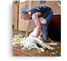 Shearer at Work Canvas Print