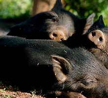Three Little Pigs  by Tamara  Kenneally